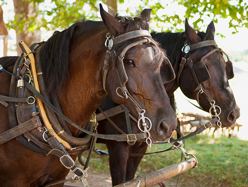 Canadian horse team at Ross Farm Museum